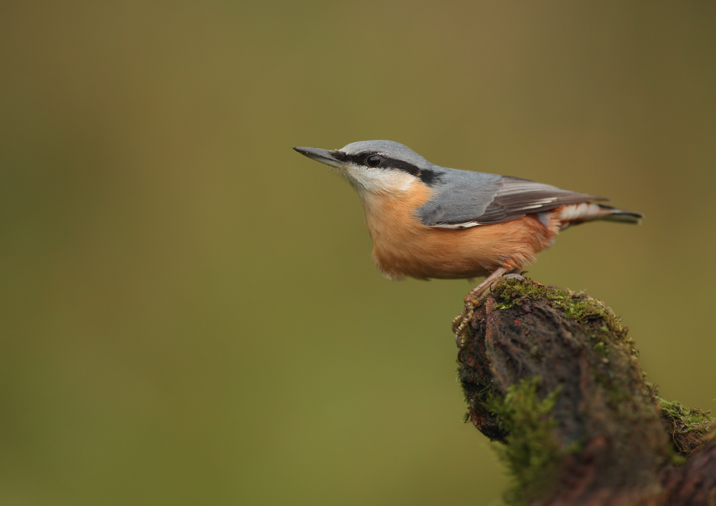 Highly Commended: Nuthatch (Andy Snape)