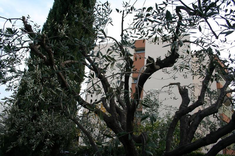 Intèrieur de l`olivier aprés la TAILLE / ELAGAGE
