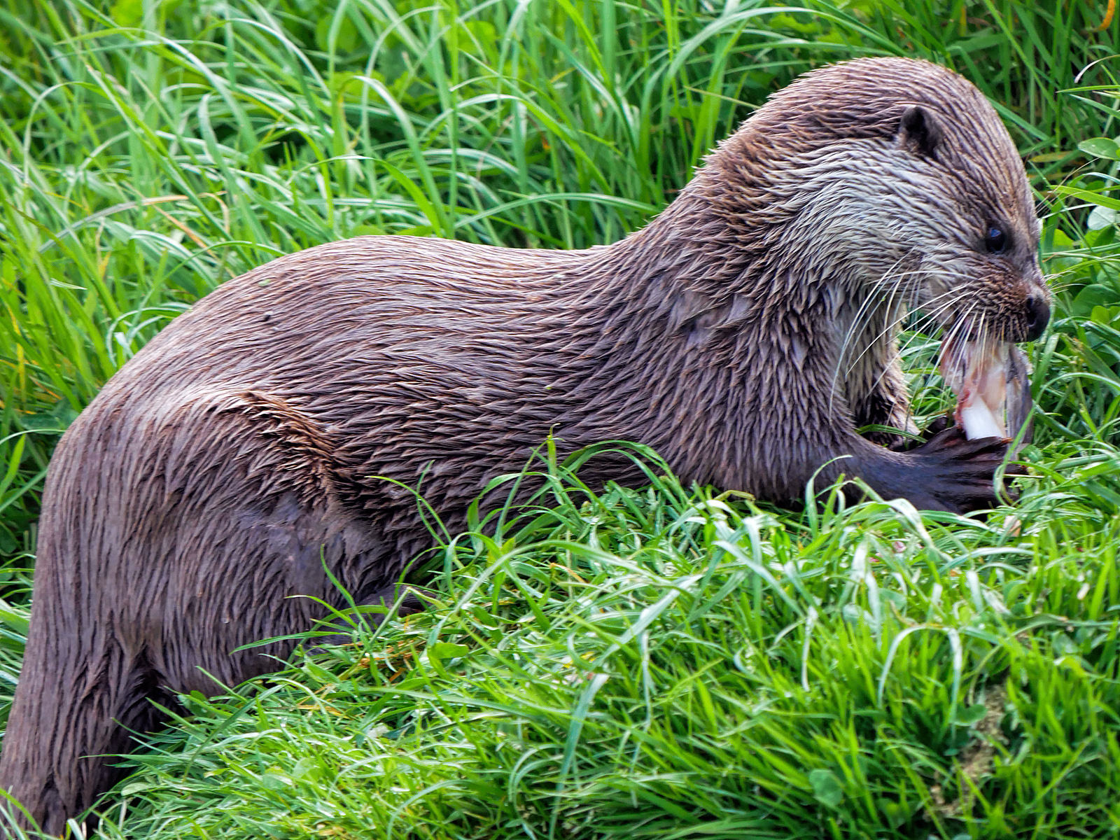 European Otter (Lutra lutra) feeding