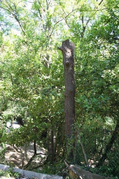 Chêne en fin d`ABATTAGE par démontage