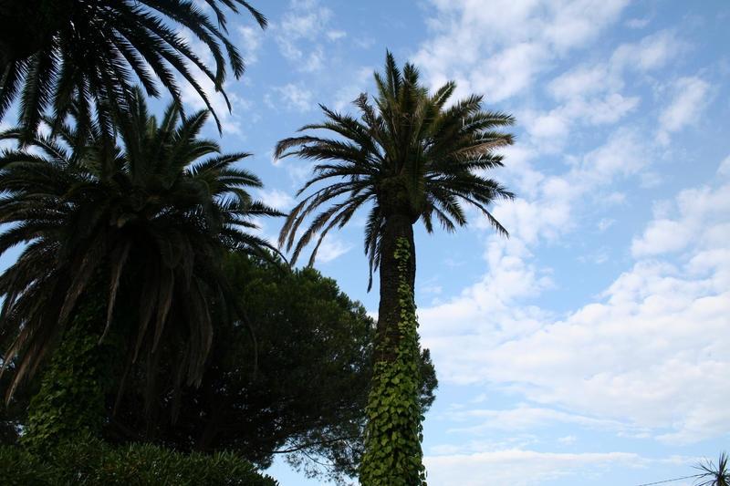 Palmiers avant la taille