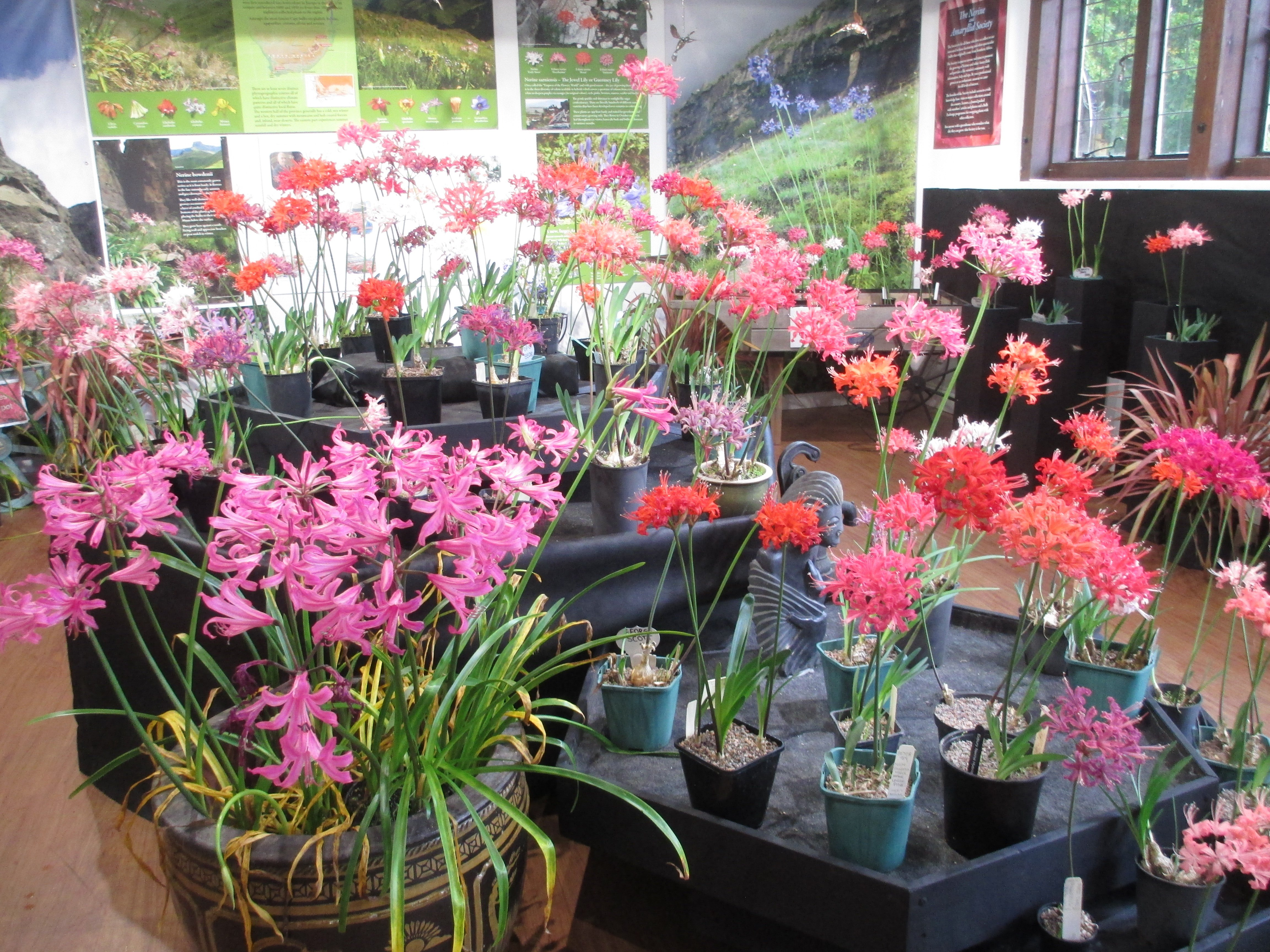 The display included Hardy Nerines (l. foreground) as well as Nerine Sarniensis.