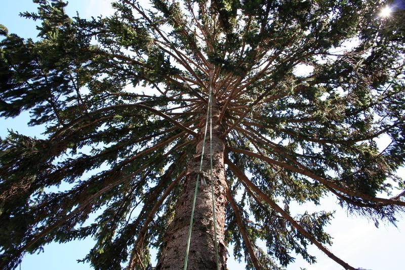 Elagage Epicea : intérieur de l'arbre aprés l'élagage