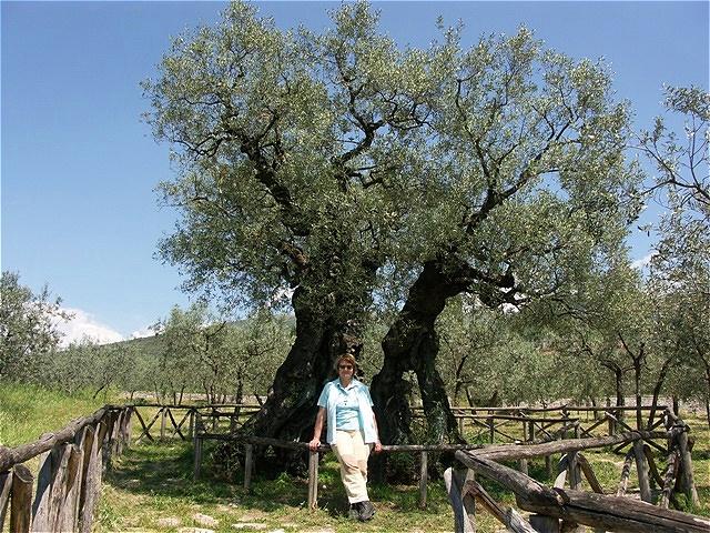 """Olivo di San Emiliano - der älteste Olivenbaum Italiens - sein Alter wird auf über 1700 Jahre geschätzt - steht in Bovara südlich von Trevi, in Umbrien südlich Perugia. Er wir """"Olivo di S.Emiliano"""" genannt. Sein Durchmesser beträgt über 9 m"""