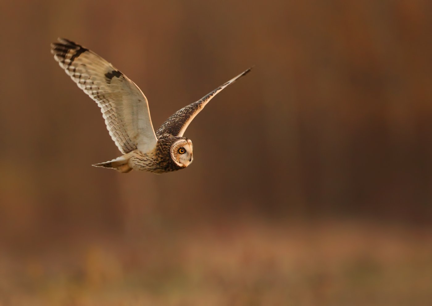 1st Place: Short Eared Owl in Flight (Andy Snape)