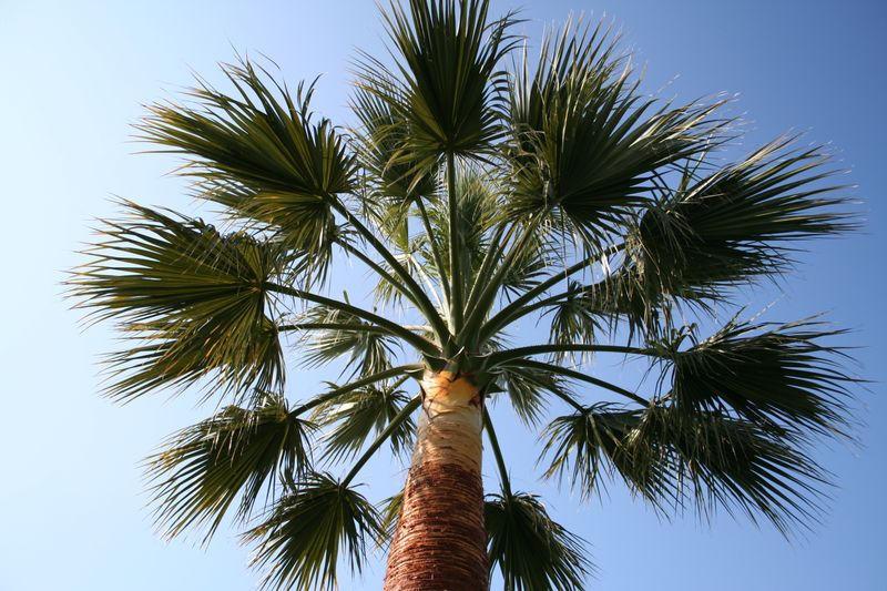Vue rapprochée du palmier élagué