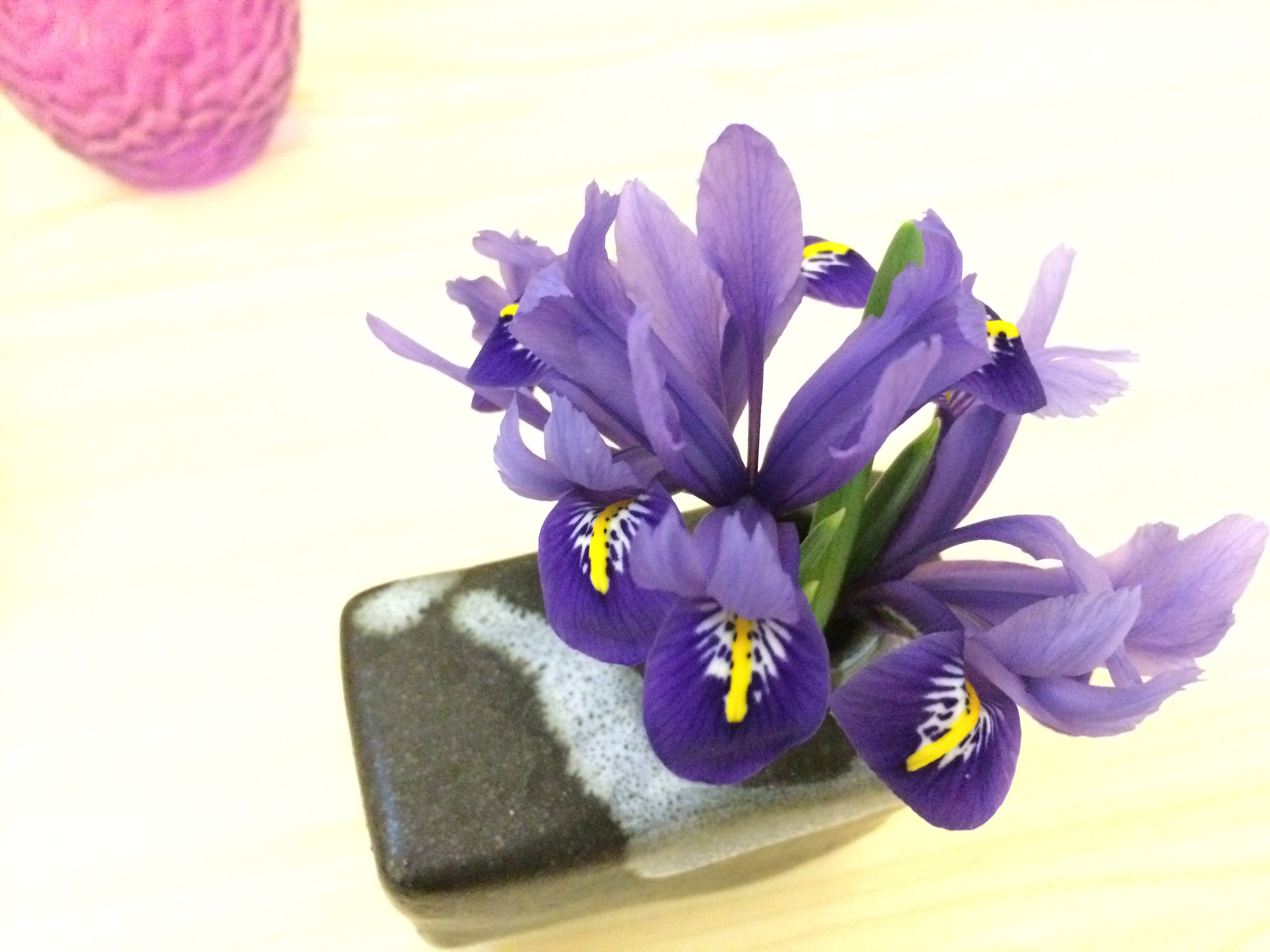 Iris reticulata winner Feb FOM
