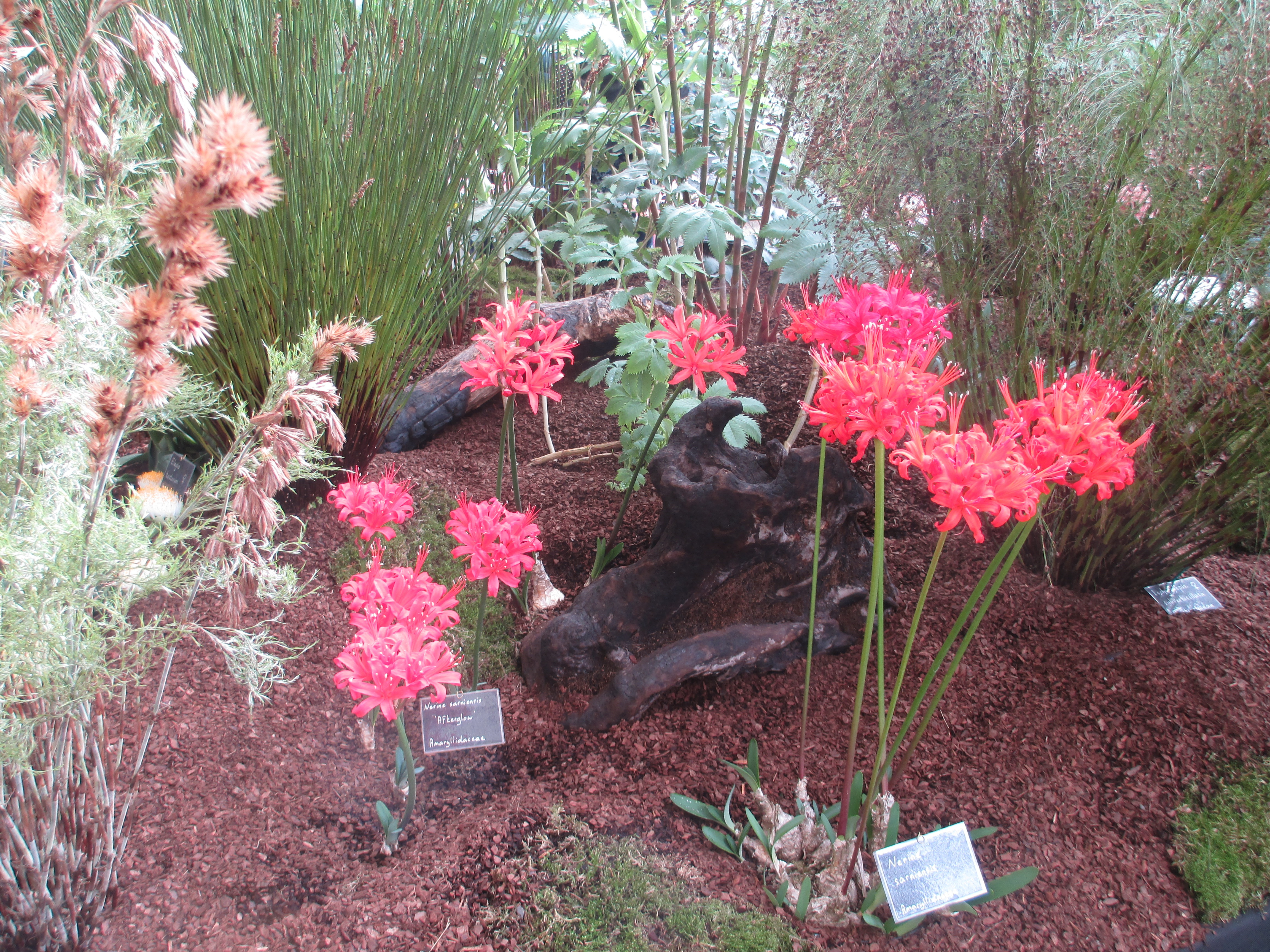 Nerines in Kelnan Plants' display.