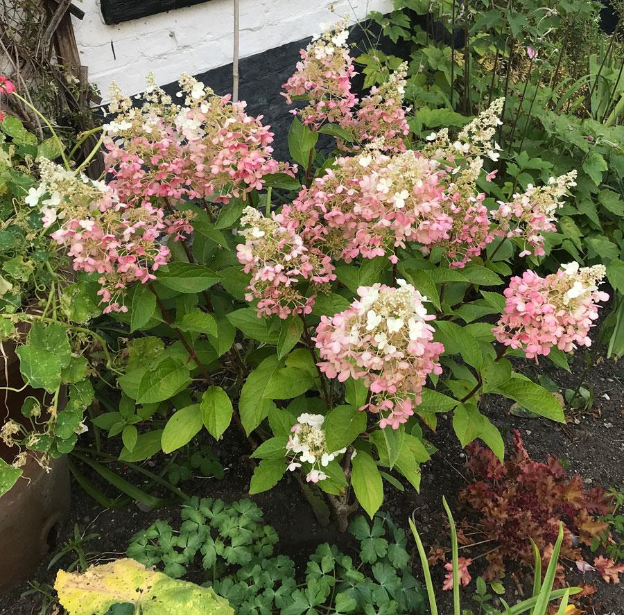 Sheelagh: Hydrangea Pinky Winky