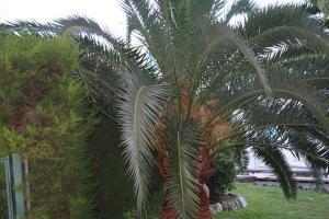 Palmier Phoenix avant la taille