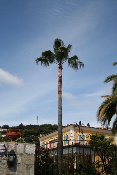 Vue globale du palmier aprés la taille