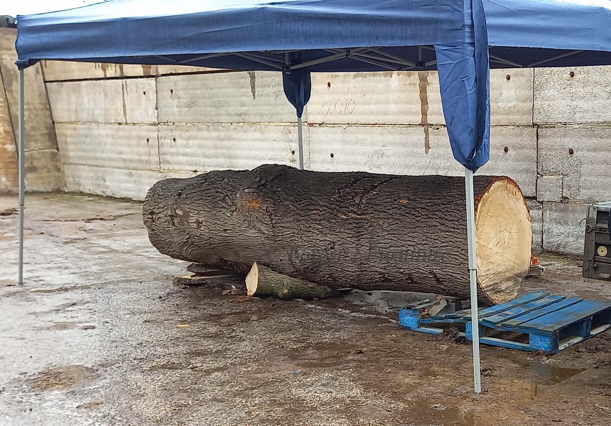 Felled Wych Elm at Bradwell in the Peak District awaiting milling into planks