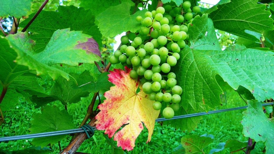 Weinlaub beginnt umzufärben