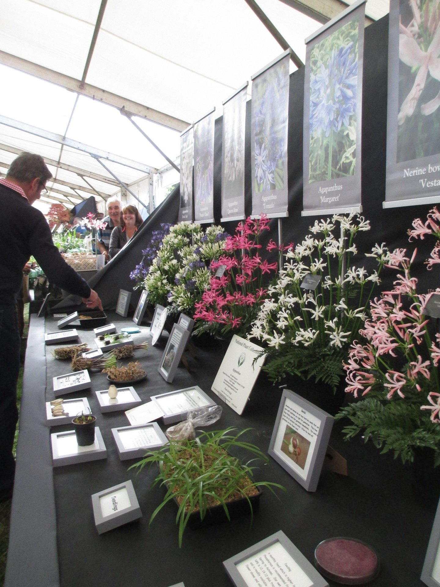 Steve's beautiful display of Nerines and Agapanthus, with examples of different ways of their propagation.
