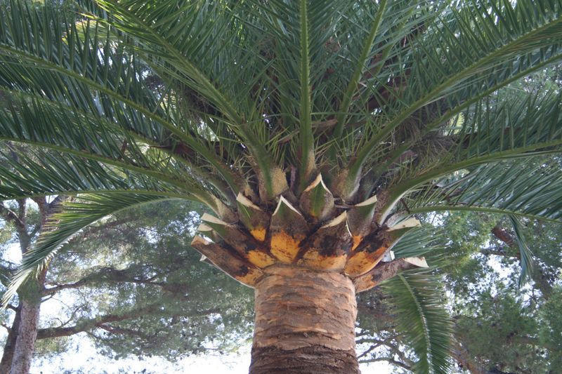 Taille dite en marguerite du palmier PHOENIX