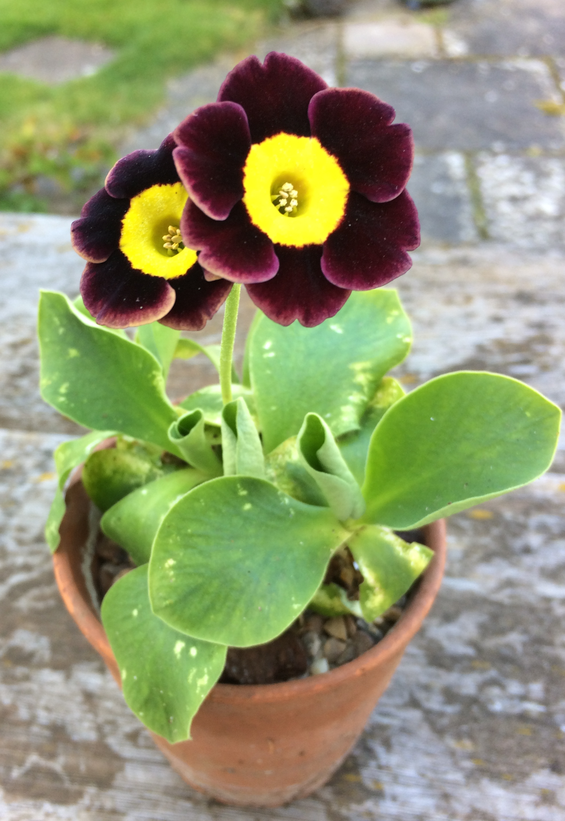 Sue T: Auricula - variety unknown