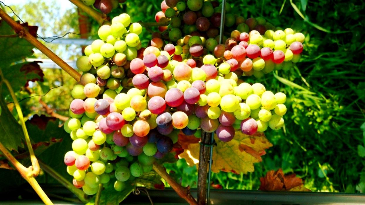 Süße Trauben locken Vögel an !