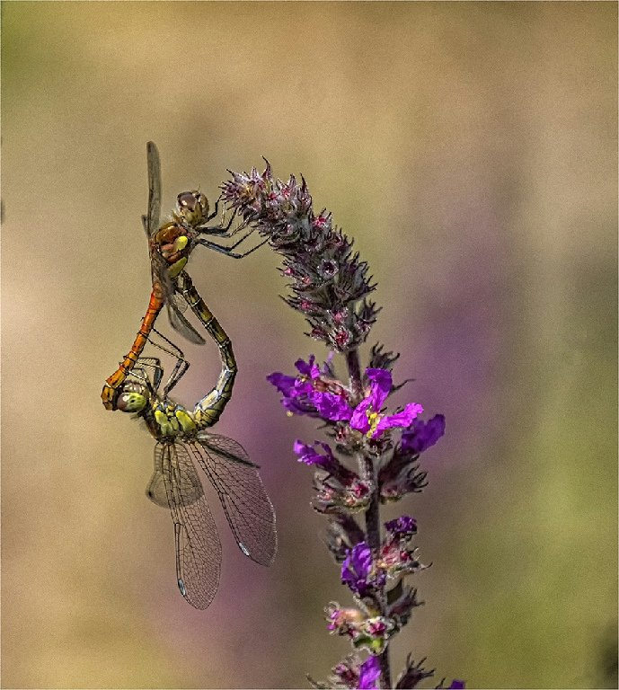 Commended: Dragonflies (Sue Tucker)
