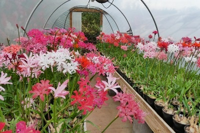 On Sunday 15th Oct., on his NGS Open Day, 120 visitors came to see Steve's Nerines which were still blooming beautifully!