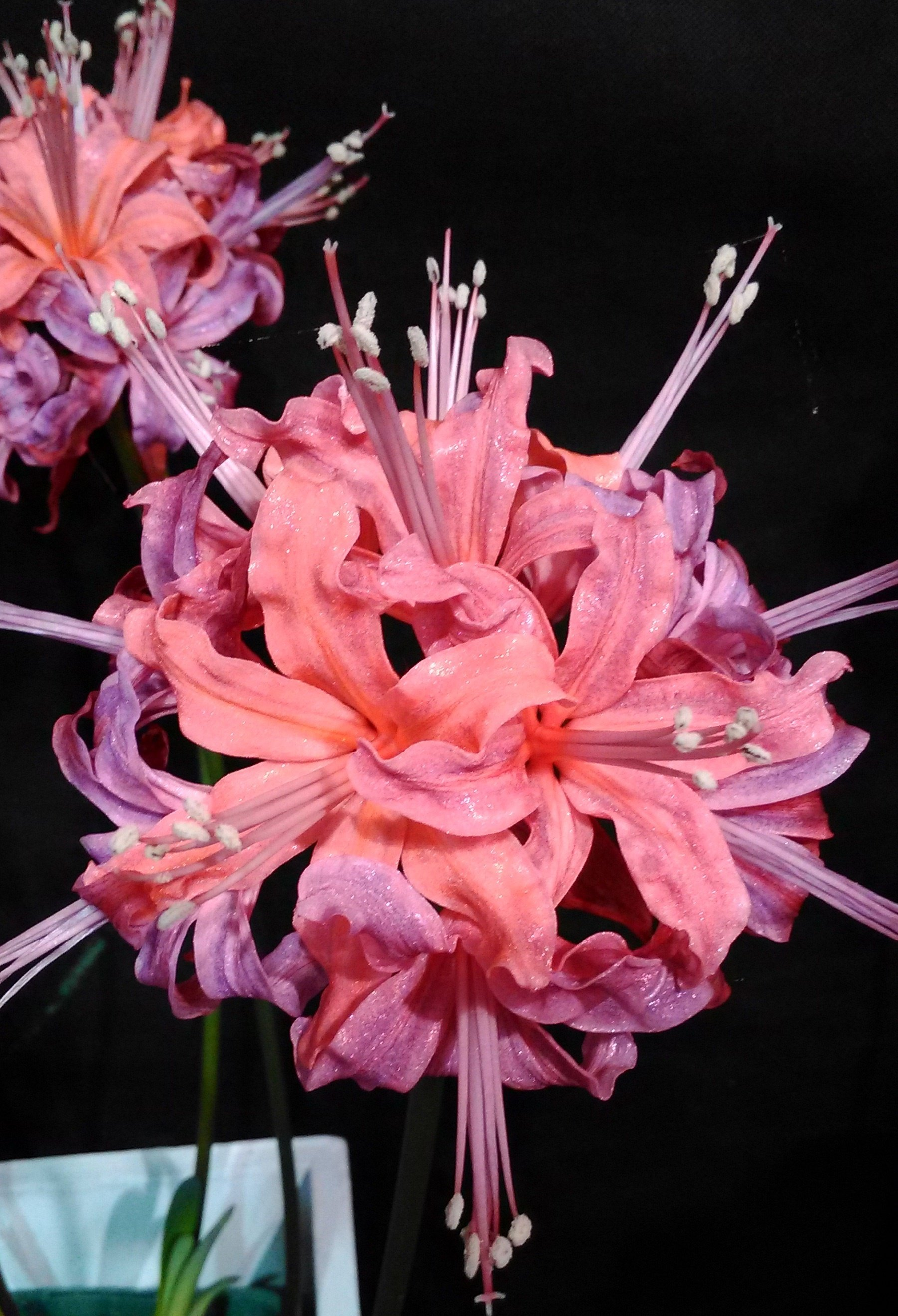 Nerine sarniensis 'Flamenco Dancer'