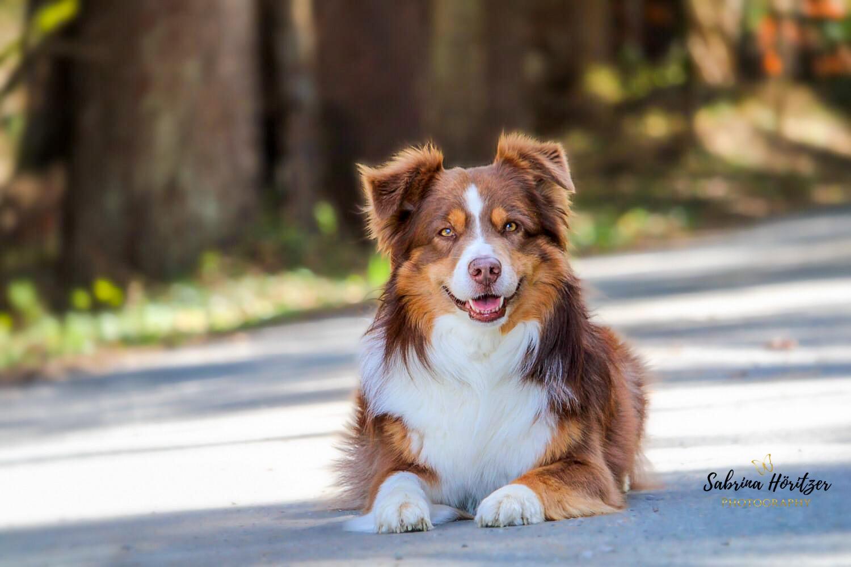 Hundefotografie Australian Shepherd