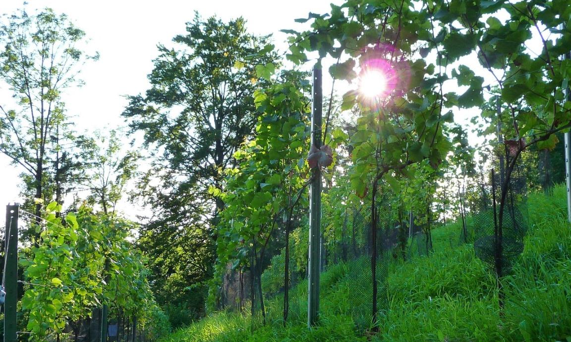 Die Reben tanken die Kraft der Sonne