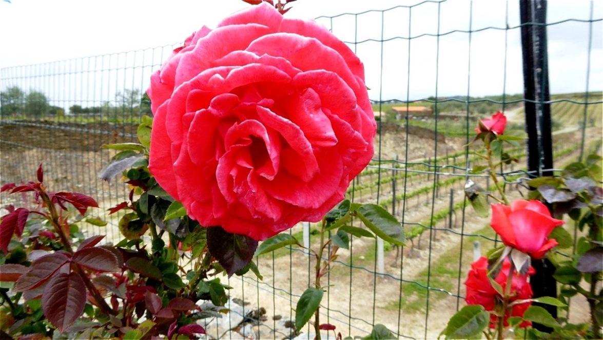 Rosen dienen als Indikatoren für Erkrankungen der Weinstöcke