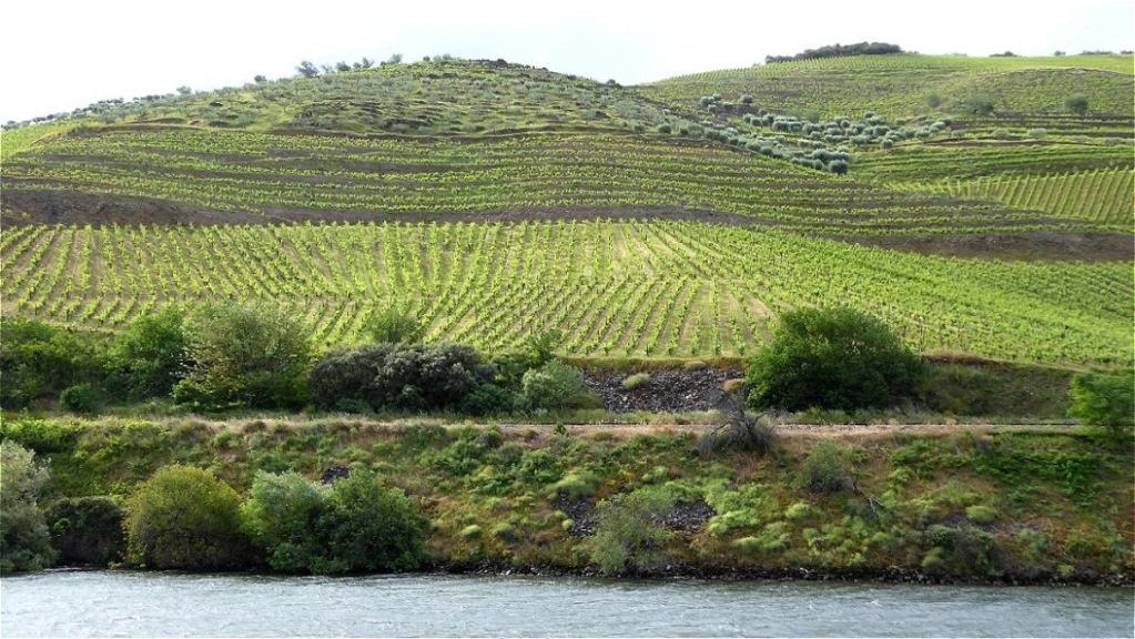 Die neuangelegten Weinberge sind viel größer...