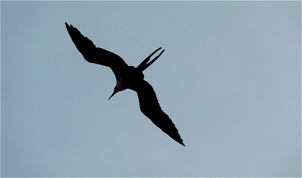 Fregattvögel begleiten uns