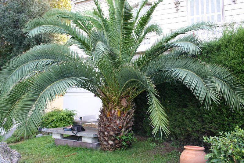 Vue globale du palmier avant la taille