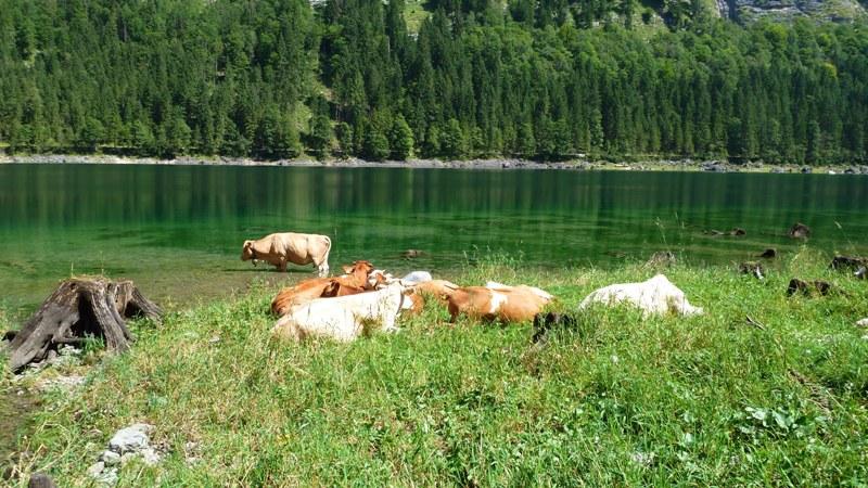 Kühe  am Seeufer - in der Mittagshitze suchen sie die Nähe des Wassers