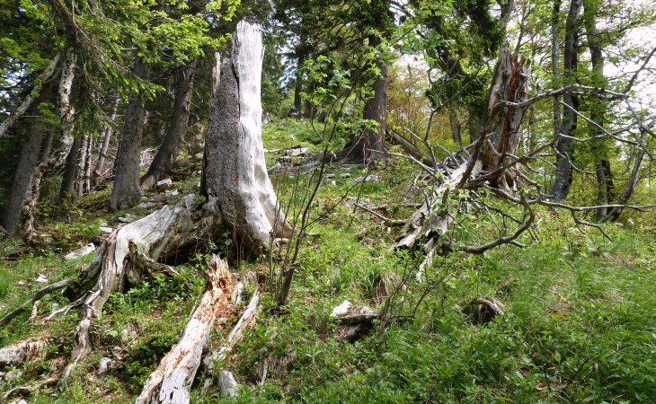 Steilstück durch den Wald  - im Aufstieg zum Faistenauer Schafberg
