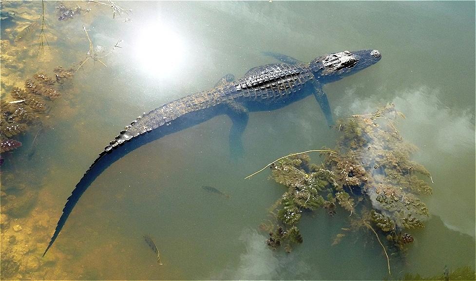 Der erste Alligator