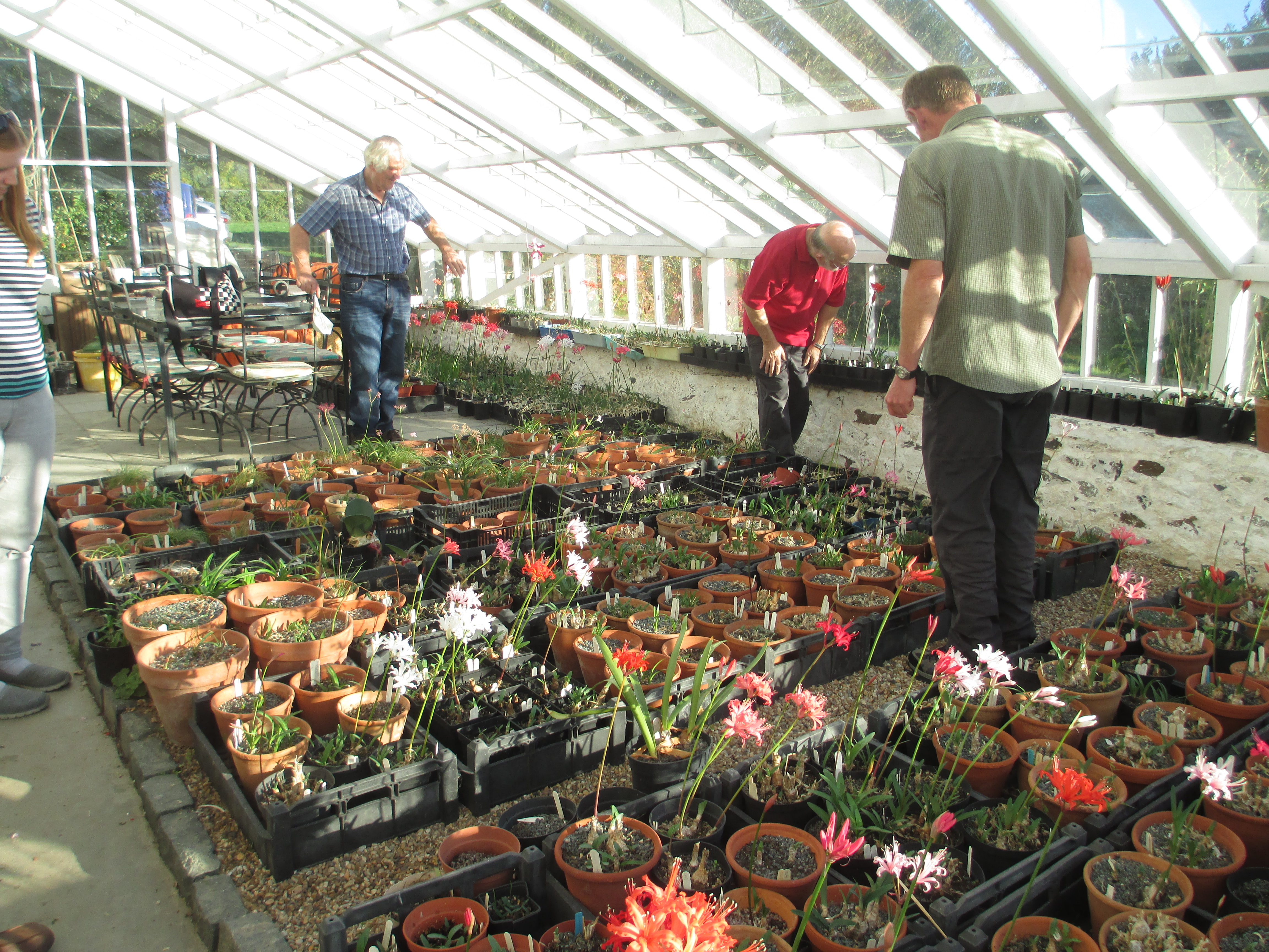 NAAS members also visited Andrew's own collection of nerines, both N. sarniensis .........