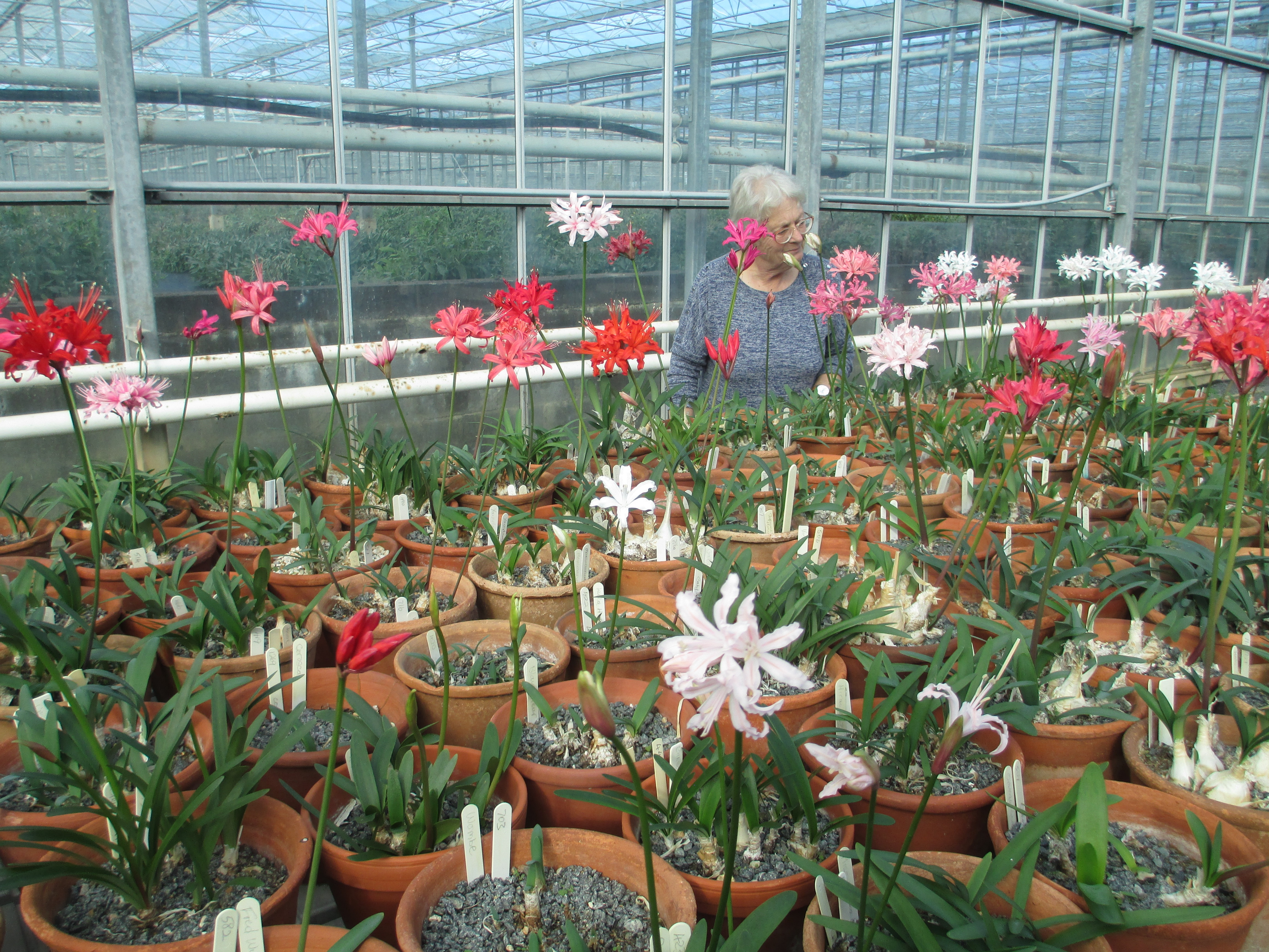 NAAS Chairman, Joanna Sadler, viewing some of the National Collection of Nerines.