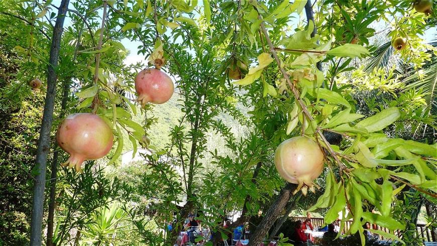 Granatäpfel im Garten des Lokals