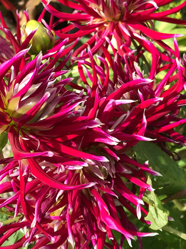 Sheelagh, Dahlia Hollyhill Spiderwoman