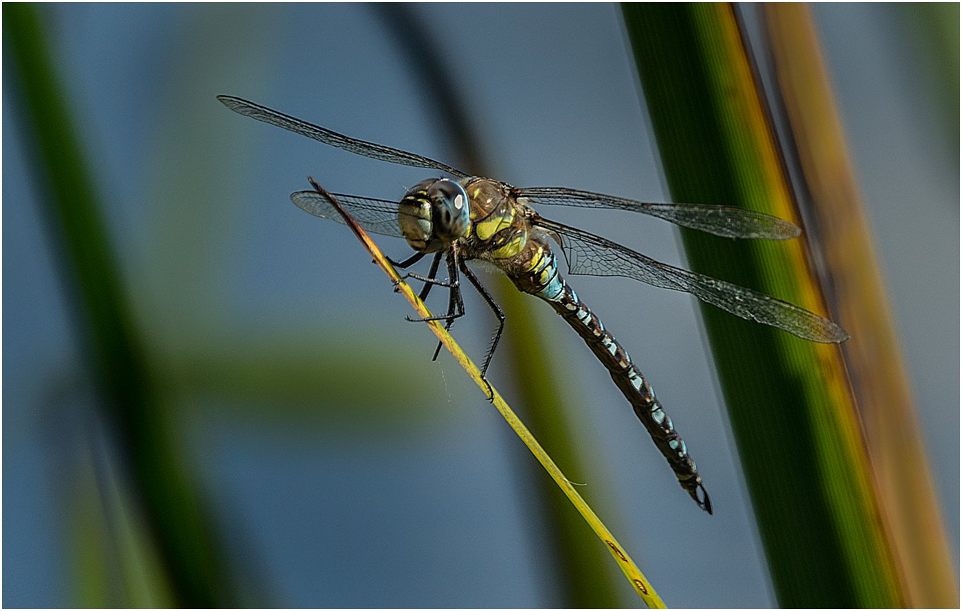 Highly Commended: Migrant Hawker Dragonfly (Dave Ormerod)