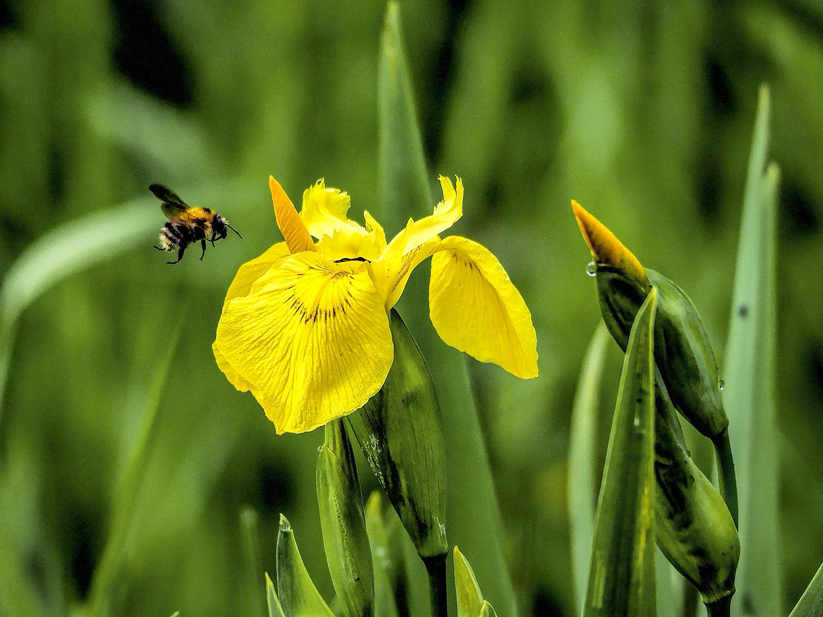 Iris and bumble bee