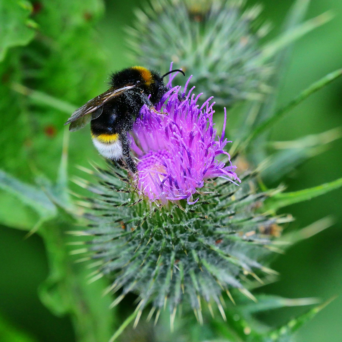 White tailed bumble bee and thistle