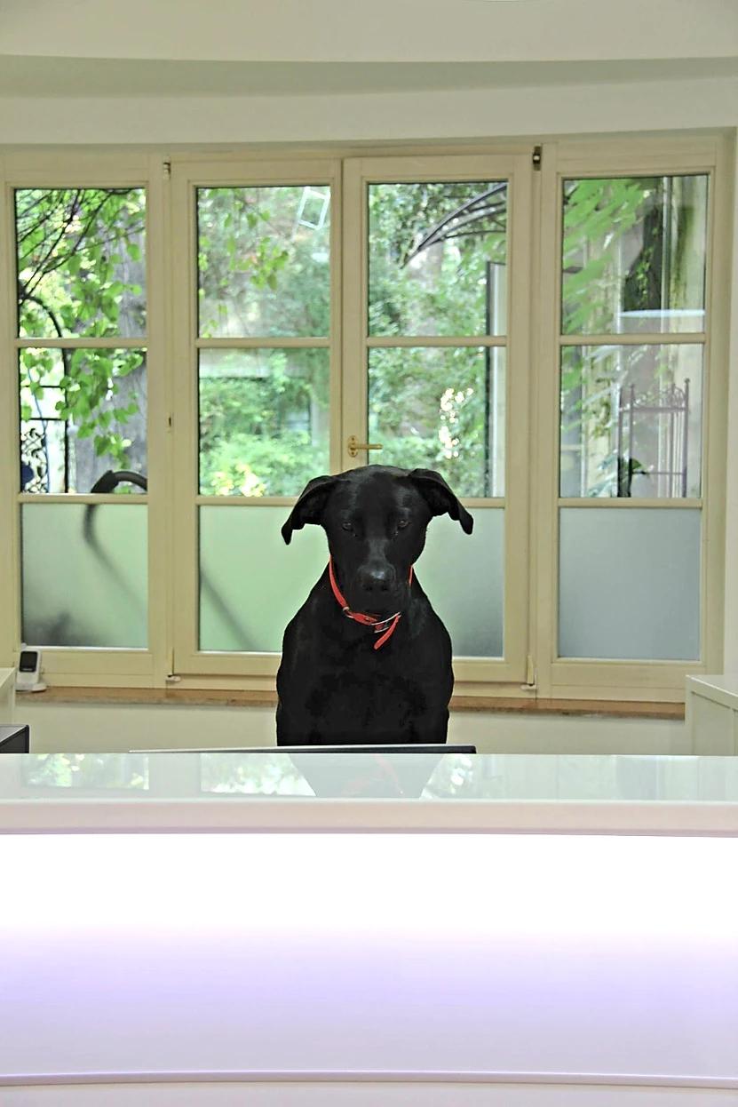 Sascha die junge Doggen- Schäfermischlingshündin, sollte ursprünglich weiter vermittelt werden, ist aber inzwischen fester Bestandteil des Teams geworden