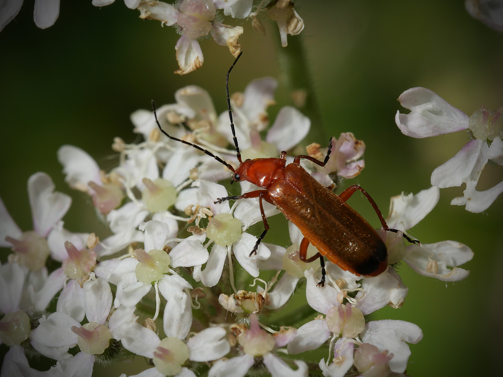Red soldier beetle on cow parsley