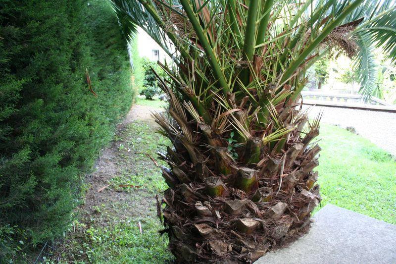 Vue du stipe du palmier avant la taille