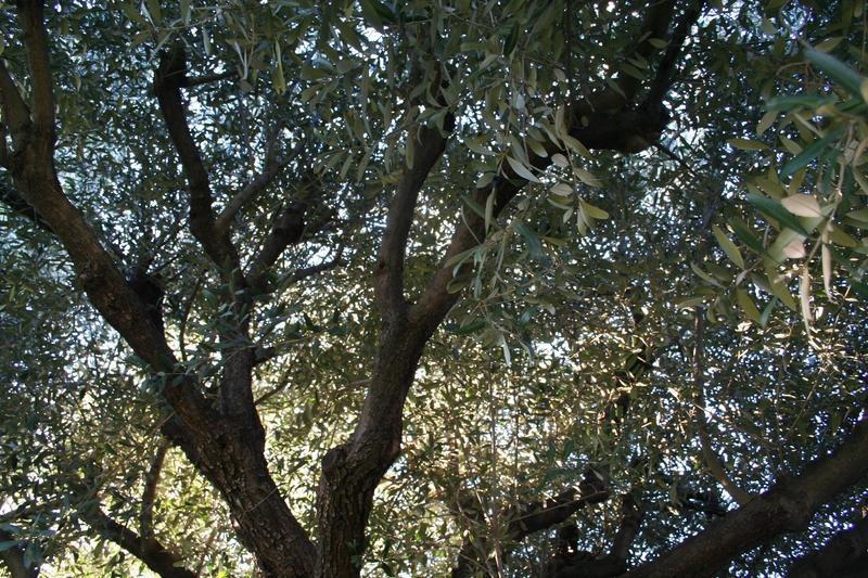 Intérieur de l`olivier avant la TAILLE / ELAGAGE