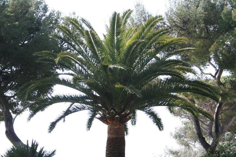 Palmier Phoenix canariensis taillé en marguerite