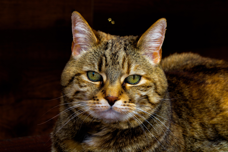 Katzenfotografie Europäisch Kurzhaar Amelie