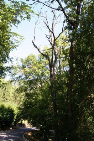 Chêne mort prés d\'une route et fils téléphone à ABATTRE.  L' entreprise Jardins et progrés effectuera pour vous tout type d'ABATTAGE D ARBRES y compris d'arbres morts avec ou sans contraintes ( présence de cables EDF ou télecom, proximité d'une route...).