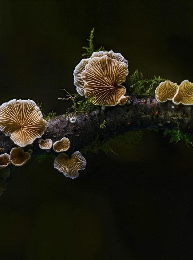 December 2020 Fungi Cripidotus Caspari - Michael Bull