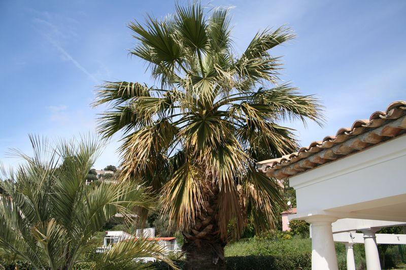 Aspect du palmier avant l` élagage