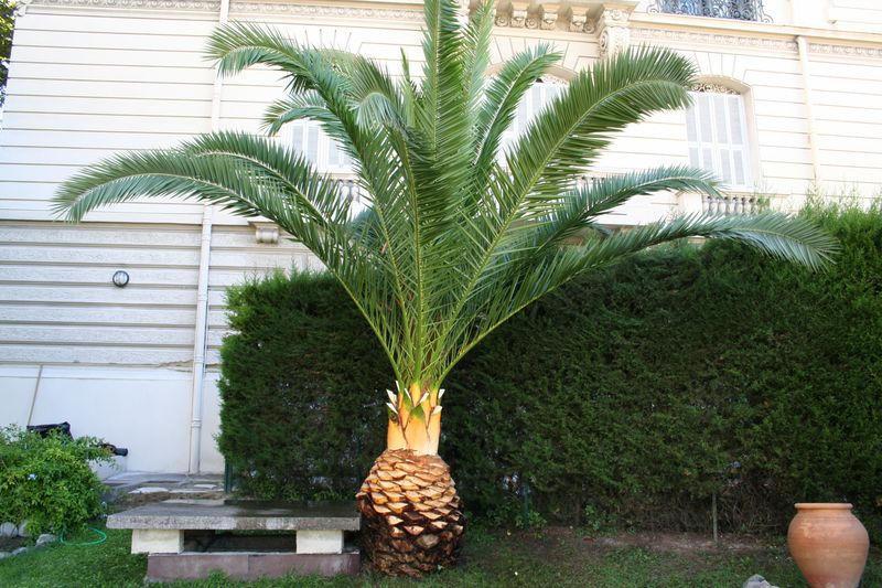 Palmier dattier aprés la taille
